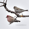 Finch, Cassin's. Kaibab Nat. Forest near Desert View, GCNP, Arizona. #1128.457.