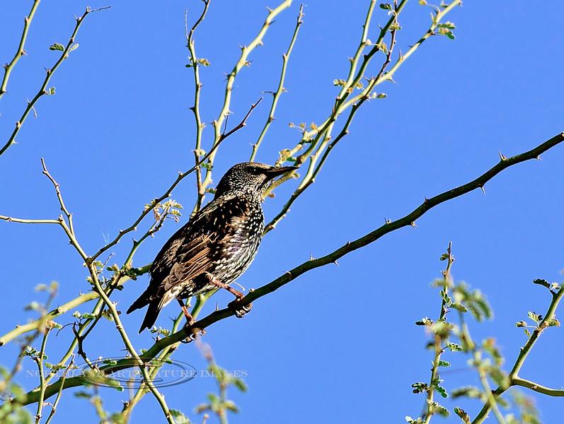 Starling. Maricopa County, Arizona. #217.025.
