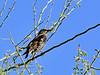 Starling. Maricopa County, Arizona. #217.025.