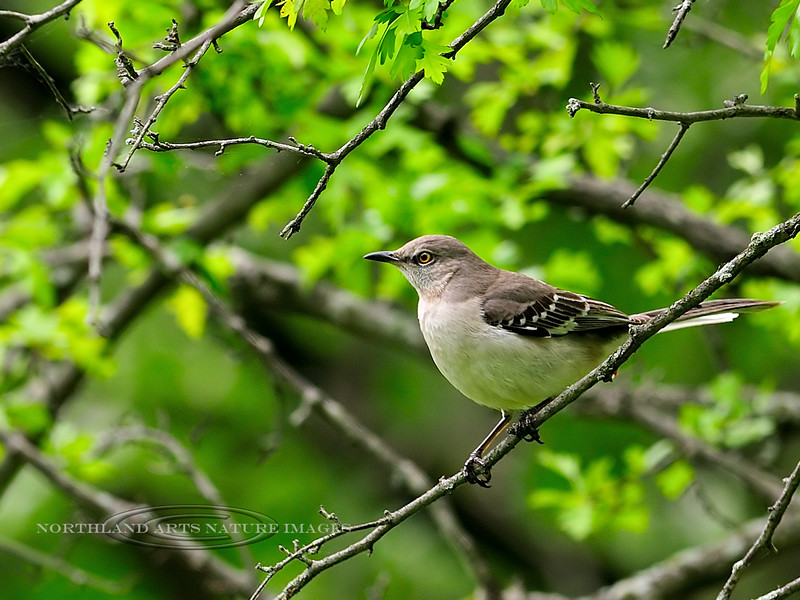 Mockingbird. Pennsbury Manor, Lower Bucks County, Pennsylvania. #426.133.3x4 ratio format.