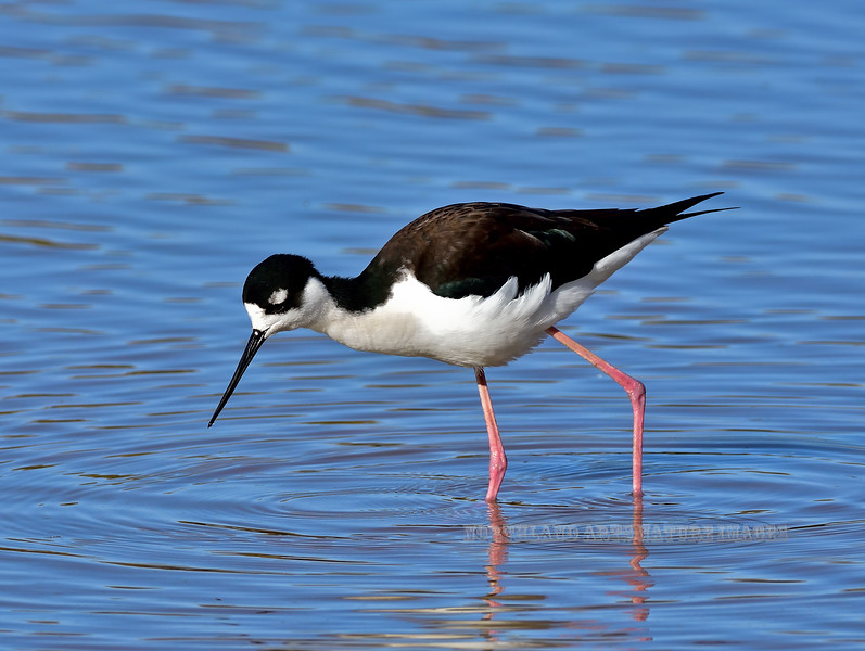 Stilt, Black-necked. Maricopa County, Arizona. #127.265.