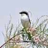 Shrike, Loggerhead 2019.4.23#297. Perched on a Tamarisk. Cochise Lake, Wilcox Arizona.