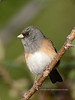 Junco, Dark-eyed. Yavapai County, Arizona. #1118.087.