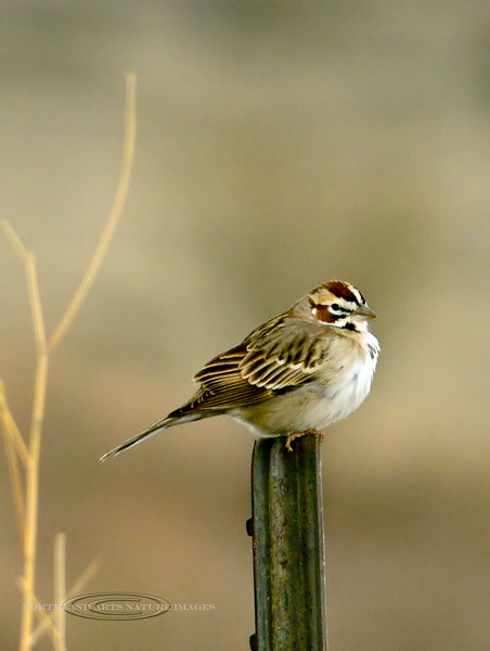 Sparrow,Lark. Prescott Valley, AZ. #416.686.