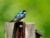 Swallow, Tree 2010.5.10#287. Peace Valley, Bucks County Pennsylvania.