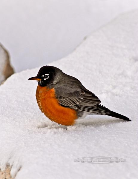 Robin, American 2007.2.28#018. South Rim Grand Canyon, Arizona.