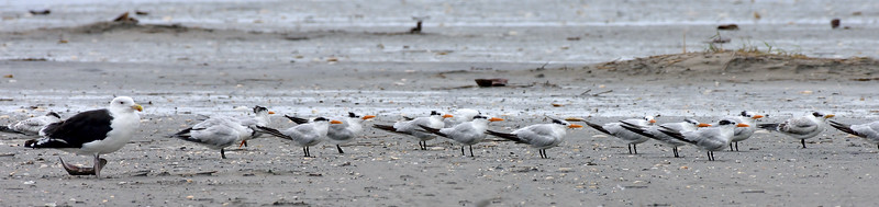 Tern, Royal 2020.9.18#4394.3. Stone Harbor point, Cape May, New Jersey.