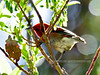 Apapane. An endemic honeycreeper of the high elevation forest. Hakalau Forest, Mauna Kea, Hawaii. #23.1198.