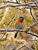 Bluebird, Western 2007.2.27#804. Oatman, Arizona.