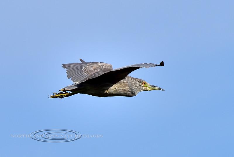 Heron, Black Crowned Night. A juvenile. Wilcox Arizona. #1114.834.