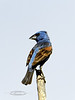 Grosbeak, Blue. Mingus Mountain, Yavapai County Arizona. #79.458.