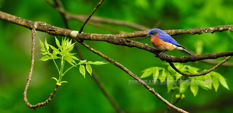 Eastern Bluebird resting on a budding Ash tree. Bucks Co.,PA. #53.281. 1x2 ratio format.