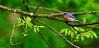 Bluebird, Eastern 2010.5.3. Resting on a budding Ash tree. Lake Warren, Bucks County Pennsylvania.