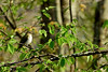 Vireo-Red-eyed. Delaware Forest, Pike County, PA. #512.1189. 2x3 ratio format.