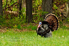 Turkey, Eastern 2012.4.27#125. A gobbler displaying. Penns Woods. Bucks County Pennsylvania.