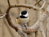 Chickadee, Carolina 2016.1.14#740. Peace Valley, Bucks County, Pennsylvania.
