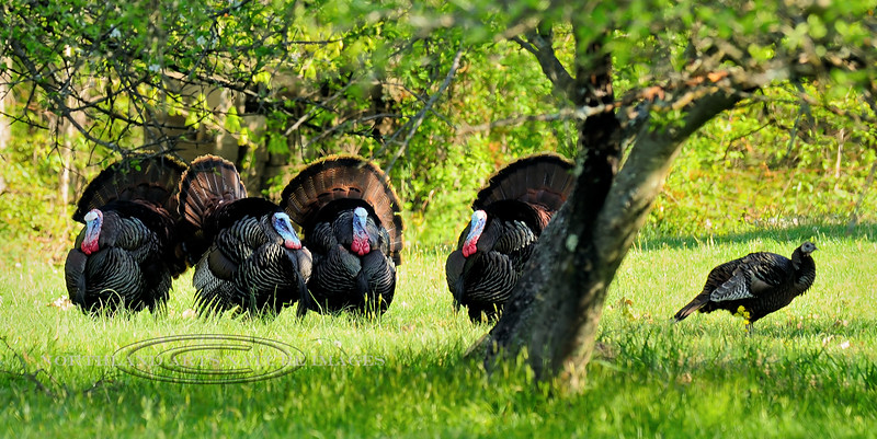 Turkey, Eastern. Gobblers displaying for a hen. Penns Woods. #424.144.