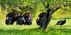Turkey, Eastern. Gobblers displaying for a hen. Penns Woods. #424.144. 1x2 ratio format.