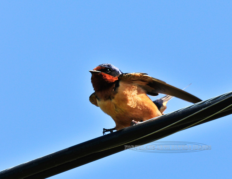 Swallow, Barn. Bucks Co.,PA. #510.251.