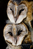 Raptors & allies-Owl, Barn. Juvenile Owls. On Safari in Zimbabwe we investigated a barrel someone had put in the crotch of a Mopane Tree and found these young owls. #6.44.