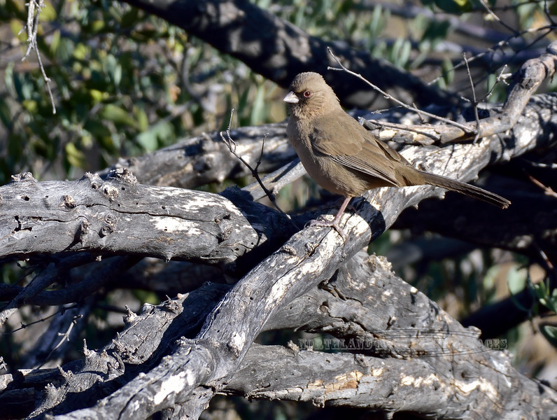 Towhee, Abert's. Pinal County, Arizona. #1214.1969.