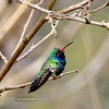 Hummingbird, Broad-billed. Patagonia, Arizona. #321.1409.
