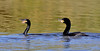 Cormorant, Neotropic. Male  and female. Maricopa County, Arizona. #1213.830.