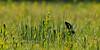 Bobolink 2010.5.11#332. Geigle Hill, Bucks County Pennsylvania.