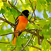 Oriole, Baltimore 2010.5.5#212. Geigle Hill, Bucks County Pennsylvania.