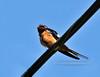 Swallow, Barn 2010.5.10#246. Peace Valley, Bucks County Pennsylvania.