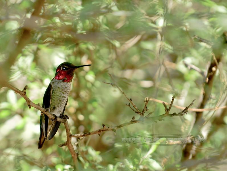 Hummingbird, Anna's 2017.7.27#479. Hassayampa Preserve, Maricopa County Arizona.