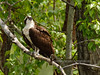 Osprey. South Fork Clearwater River, Idaho. #514.1012.