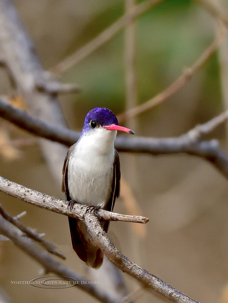 Hummingbird, Violet-crowned. Patagonia, Arizona. #322.1747.