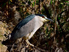 Heron, Black-crowned Night. Maricopa County, Arizona. #127.966.