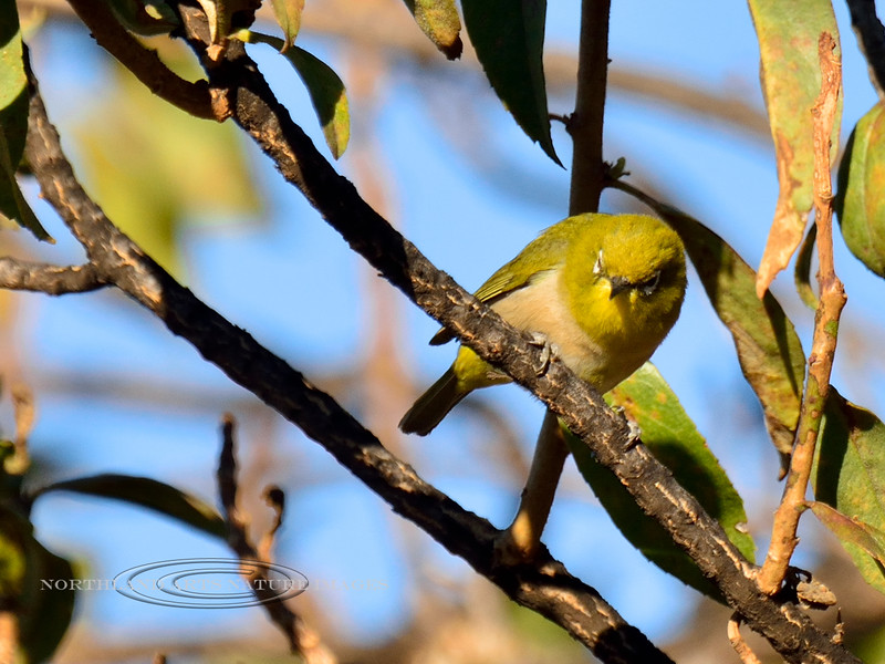 Japanese White-Eye. An alien bird found throughout the Hawaiin Islands. Sandalwood Enclosure, Pu'u La'au, Manua Kea, Hawaii. #27.234. 3x4 ratio format.