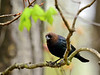 Cowbird, Brown-headed 2016.5.4#405. Quarry Road, Bucks County Pennsylvania.