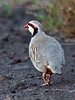 Chukar 2015.2.3#1464. Saddle Road, Mauna Kea Hawaii.