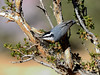 Nuthatch, Red-breasted, western. Kaibab Forest, Coconino County, Arizona. #1128.074.