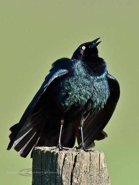 Blackbird, Brewer's2014.5.14#691. A male displaying for a female nearby. Camas Prairie, Idaho.