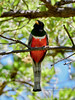 Trogon, Elegant. Santa Rita Mountains Arizona. #515.371.