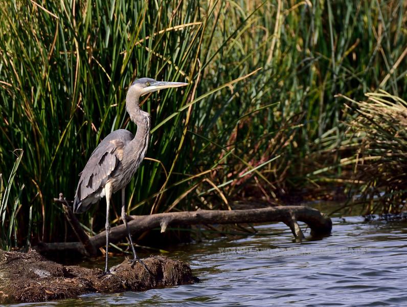 Heron, Great Blue 2018.11.14#968. Cochise Lake, Wilcox Arizona.