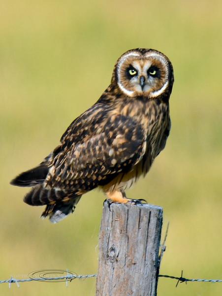 """Owl, Hawaiian """"Pueo"""". Old Saddle Road, Hawaii. #27.270."""
