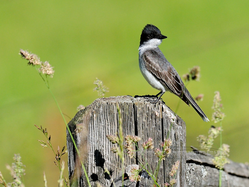 Kingbird, Eastern. Rocky Mountains, Idaho. #621.032.