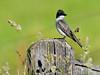 Eastern Kingbird 2012.6.21#032. Camas Prairie, Idaho.