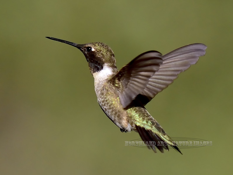 Hummingbird, Black-chinned. Santa Rita Mountains Arizona. #516.564.