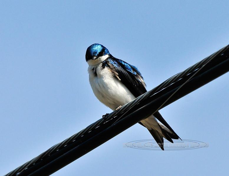 Swallow, Tree 2010.4.30#169. Peace Valley, Bucks County Pennsylvania.