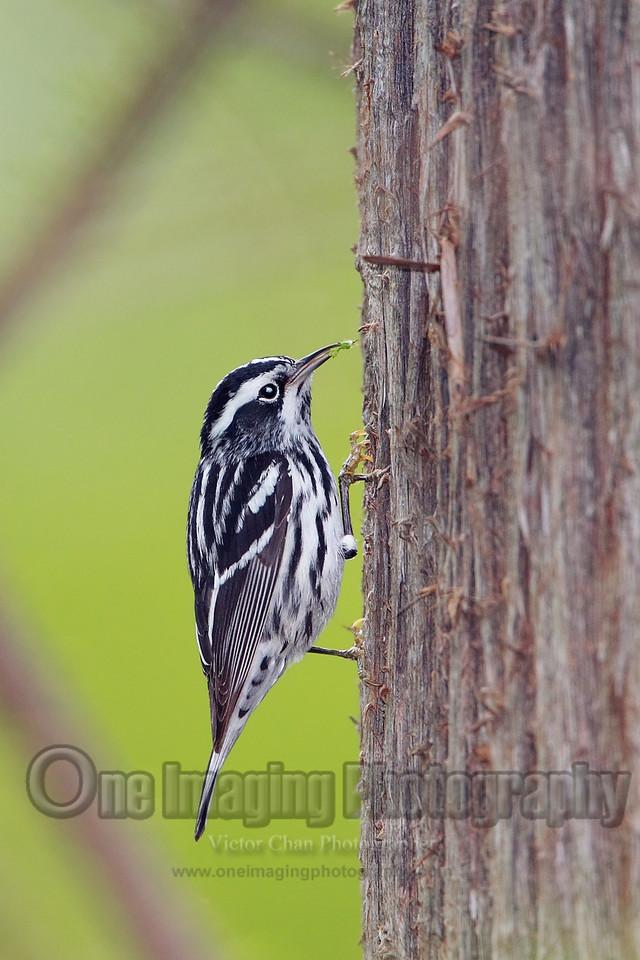 blackwhitewarbler copy