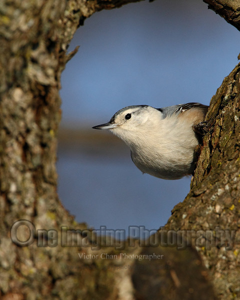 nuthatch2 copy