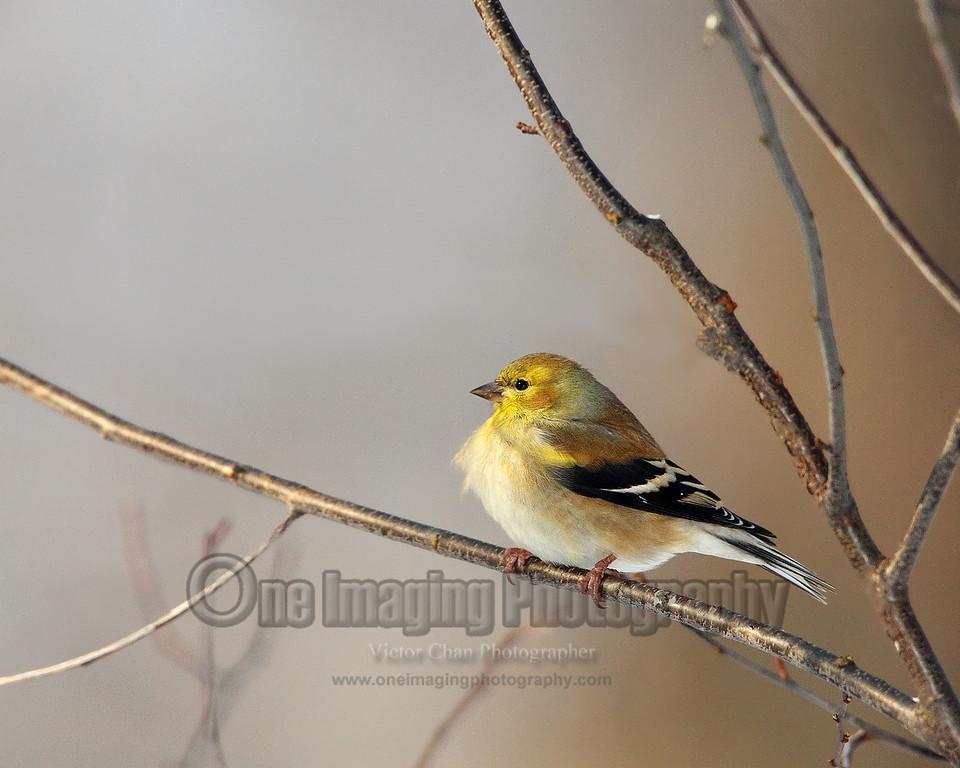 goldfinch copy