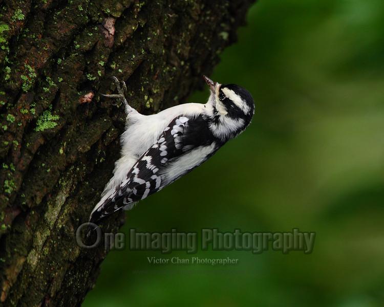 downywoodpecker copy
